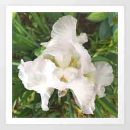 493 - White Iris Art Print