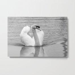 Mute swan swimming along the River Bure, Wroxham Metal Print