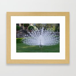 Magnificent White Peacock in the Garden of Isola Bella in Italy Framed Art Print