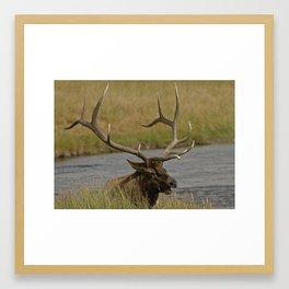 Bull elk with very large antlers Framed Art Print
