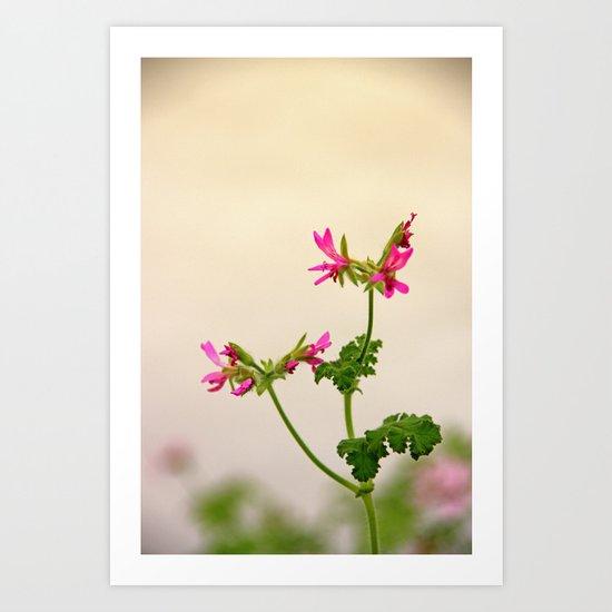Geraniums (Pelargonium) #5 Art Print