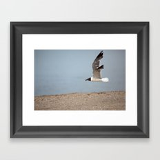Laughing Gull in Flight Framed Art Print