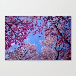 Cherry blossom explosion Canvas Print