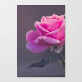 Pink Rose I Canvas Print