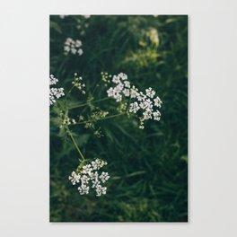 Wild Parsley Canvas Print