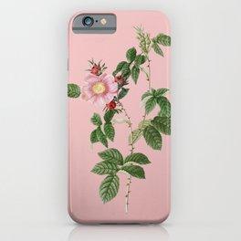 Vintage Big Flowered Dog Rose Botanical Illustration on Pink iPhone Case