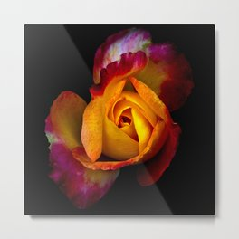 A  rose undecided on what color to be Metal Print