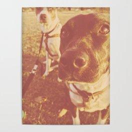 Blue Heeler Dogs At Sunset Poster