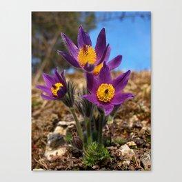 common pasque flower Canvas Print