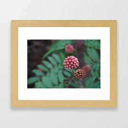 Pink Calliandra Buds Framed Art Print