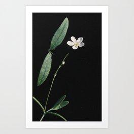 Moehringia lateriflora Art Print