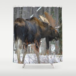 Massive male moose on the loose in Jasper National Park Shower Curtain