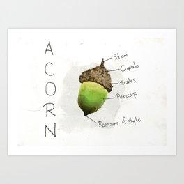 Diagram of an Acorn Art Print