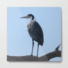 Great Blue Heron with a bird's eye view Metal Print
