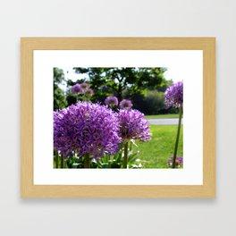 Purple Allium Giganteum Framed Art Print