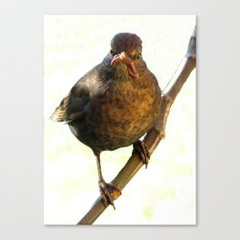 Female Blackbird (Turdus merula) Canvas Print