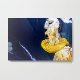 Pacific Sea Nettle Jellyfish Photo Metal Print