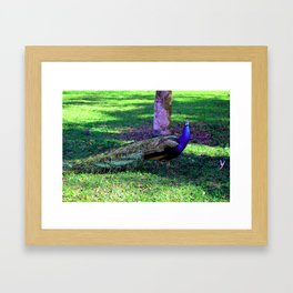 Peacock at Kingsley Plantation Framed Art Print