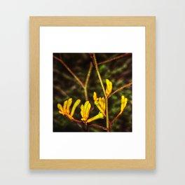 Yellow Kangaroo Paw flower against a blurred background Framed Art Print