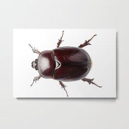 """European rhinoceros beetle female """"Oryctes nasicornis"""" species Metal Print"""