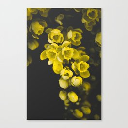 Mahonia Blossom Canvas Print