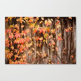 Vitaceae family ivy wall abstract Parthenocissus quinquefolia Canvas Print