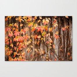 Vitaceae family ivy wall abstract Parthenocissus quinquefolia Canvas Print