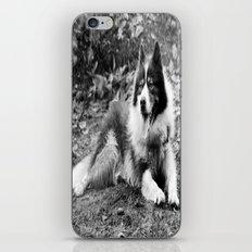 greenland dog iPhone & iPod Skin