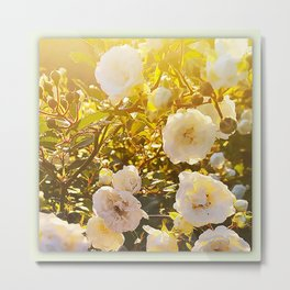 White roses in evening light Metal Print
