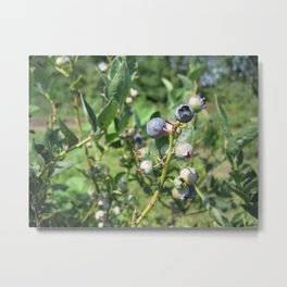 Blueberry Plant Metal Print