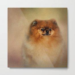 Proud Pomeranian Metal Print