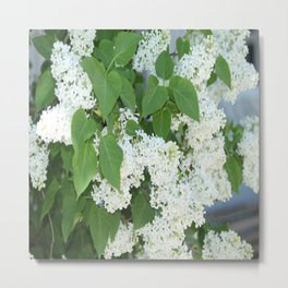 The white syringa blooms in the garden   Metal Print