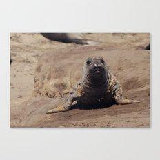 elephant seal pup Canvas Print