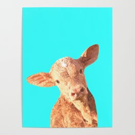 Baby Cow Turquoise Background Poster