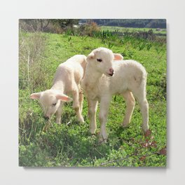 Spring Lambs Grazing On Farmland Metal Print