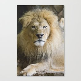 Lions Stare Canvas Print