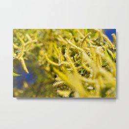 blooming yellow willow Metal Print