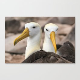 Waved Albatross birds in the Galapagos Canvas Print