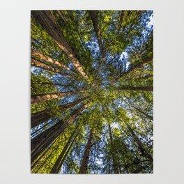 Coastal Redwoods aka Coast Redwood and California Redwood (Sequoia sempervirens) Poster
