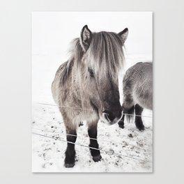 snowy Icelandic horse bw Canvas Print
