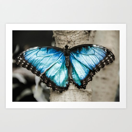 Black And White Blue Morph Butterfly Art Print