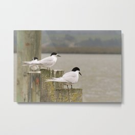 Master Oyster Catchers Metal Print