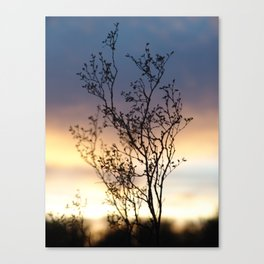 Creosote Bush at Sunset Canvas Print