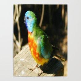 Scarlet-chested Parrot ( splendida ) Poster