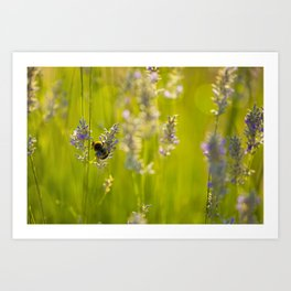 Bumblee in a field of lavender Art Print