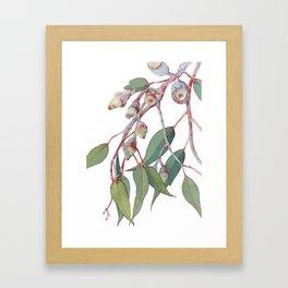 Australian eucalyptus tree branch Framed Art Print