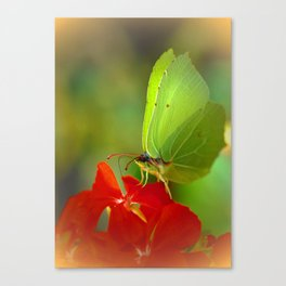 Brimstone Butterfly 45 Canvas Print