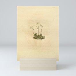 Flower saxifraga caesia24 Mini Art Print