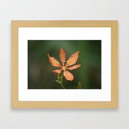 Leopard Lily in Bloom Framed Art Print
